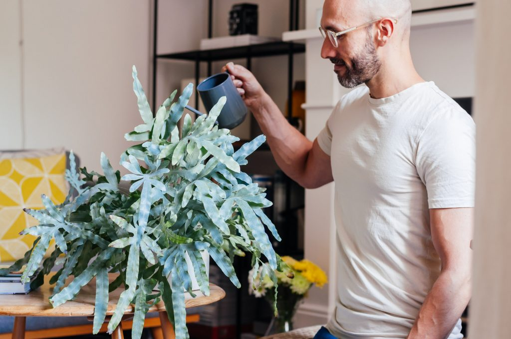 Juan Sandiego watering a potted blue star fern